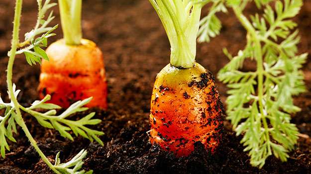 How To Grow Carrots_header