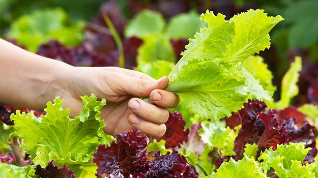promix-gardening-gardening-when-its-raining-lettuce