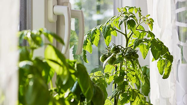 Bring tomatoes inside your home