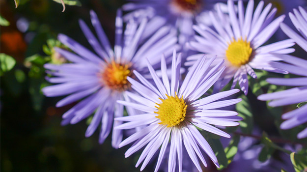 Faux aster