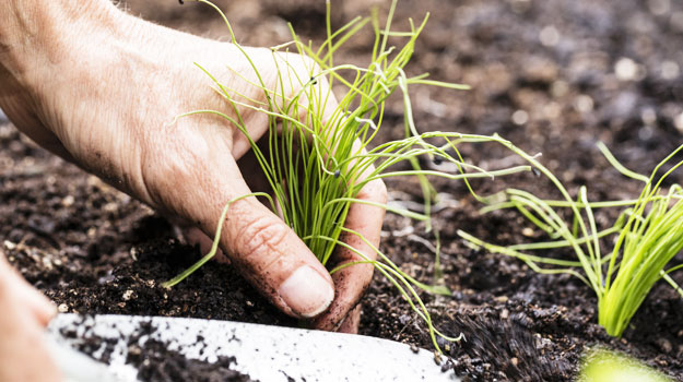 promix_gardening_tips_on_caring_for_chives