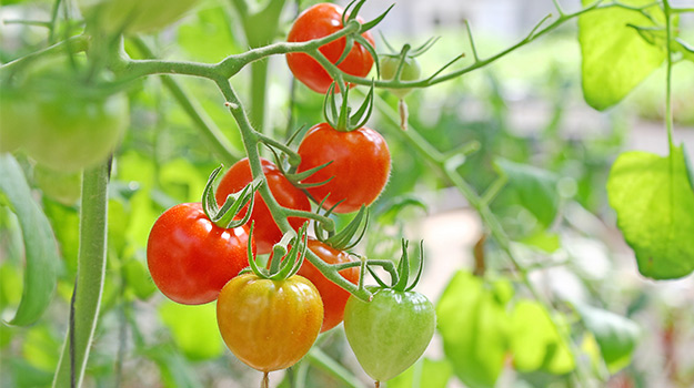 Tomatoes using fertilizer