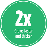 Grows faster and thicker