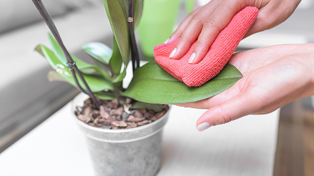 Clean your Orchid's leaves
