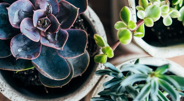How to grow cactuses and succulents
